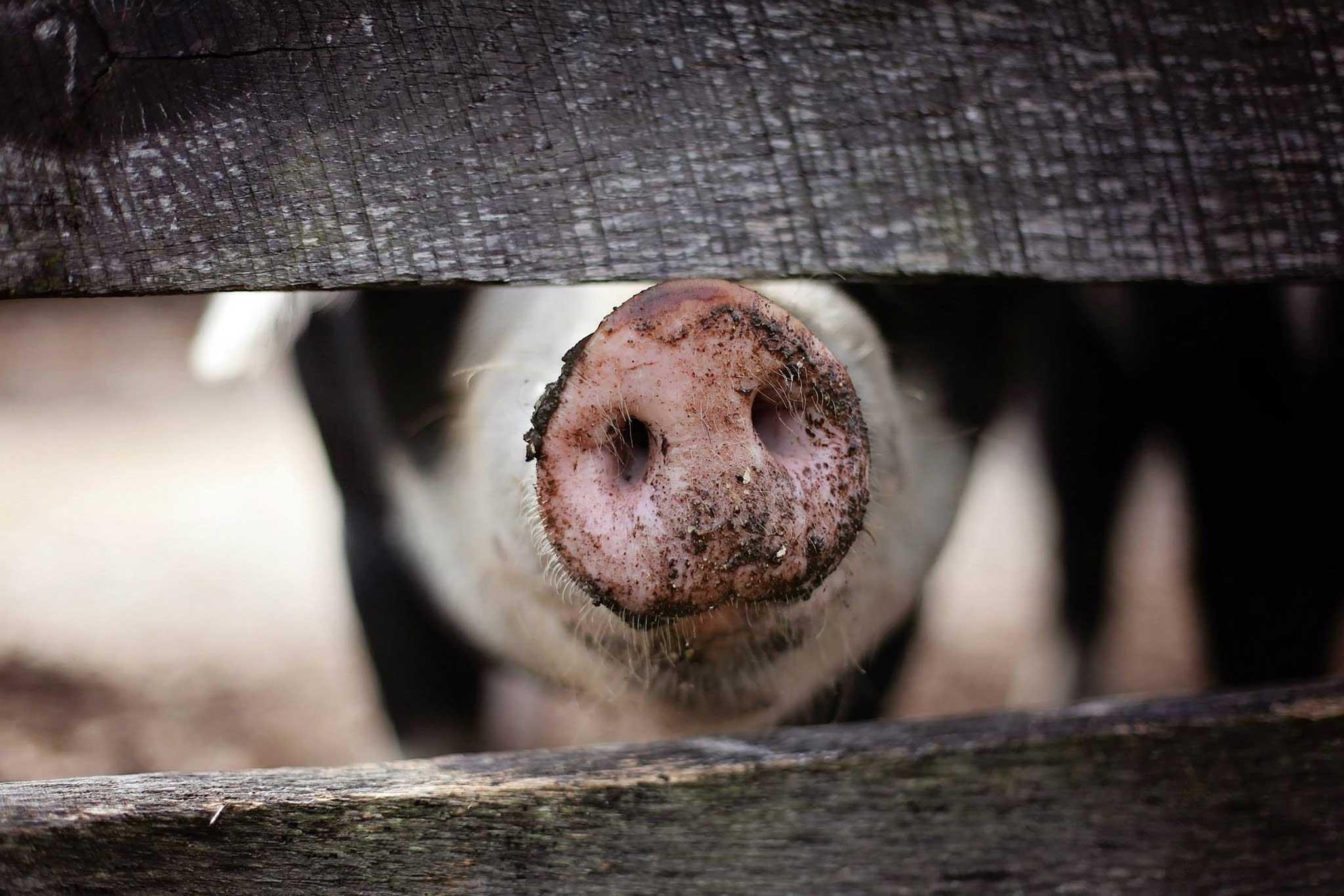 Dirty Snouts Pig Snout
