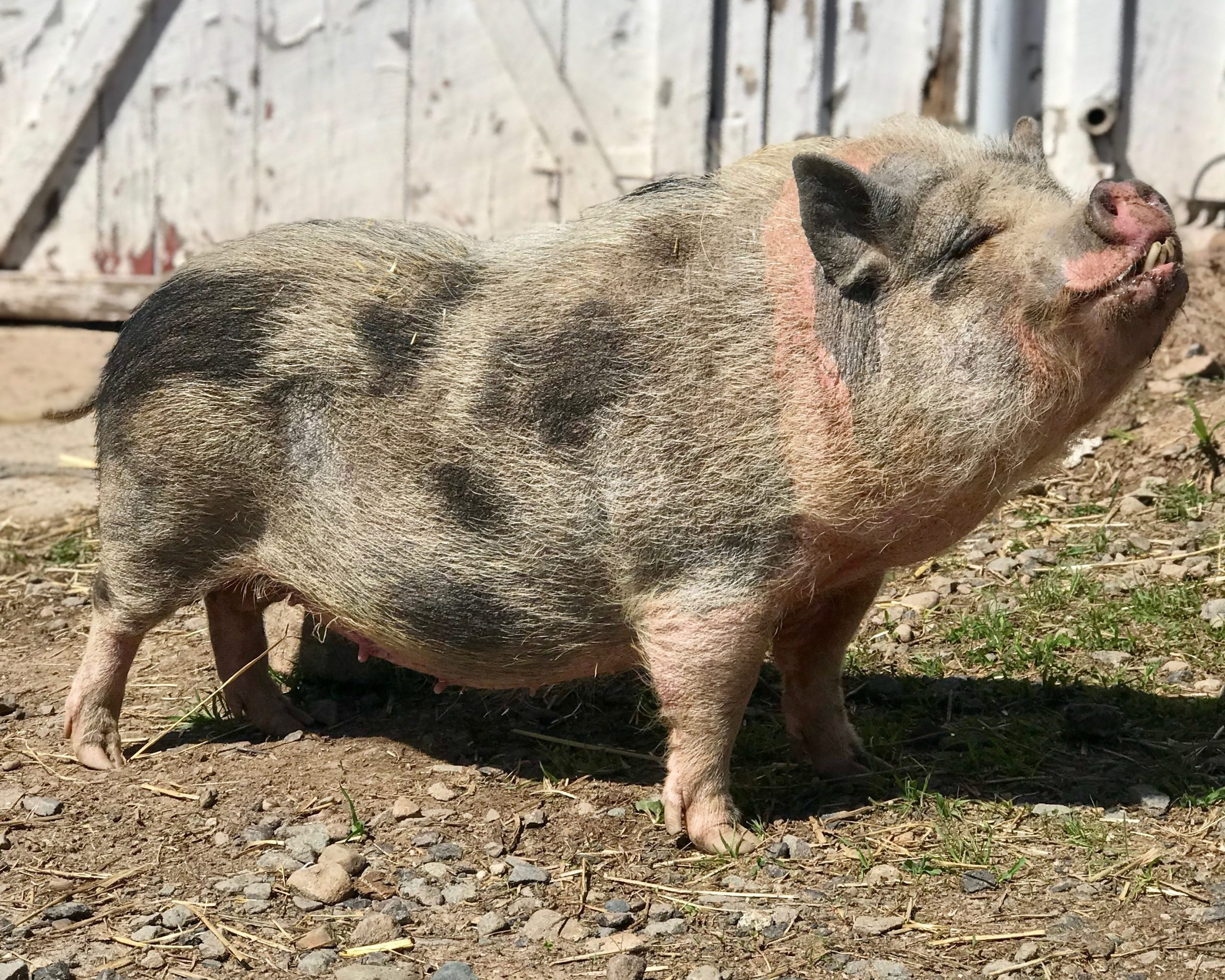 Princess the pig at Arthur's Acres Animal Sanctuary