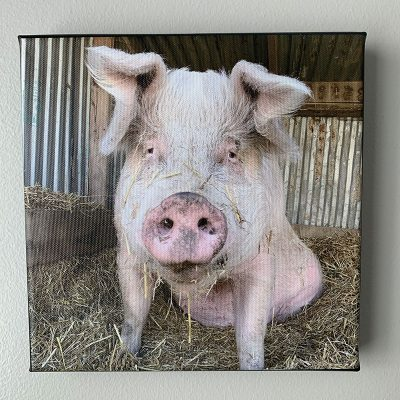 4 pig canvases