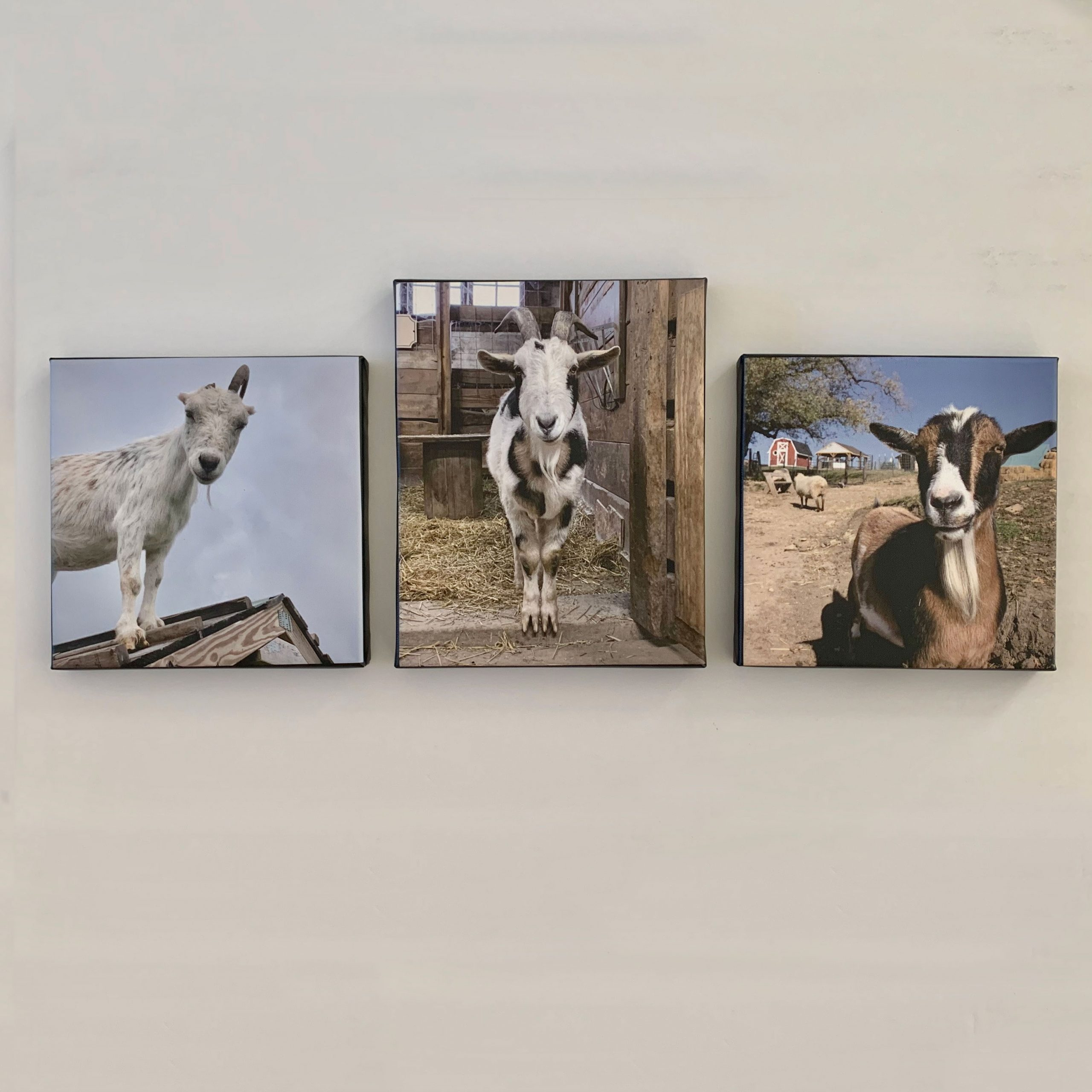 3 goat photo canvases