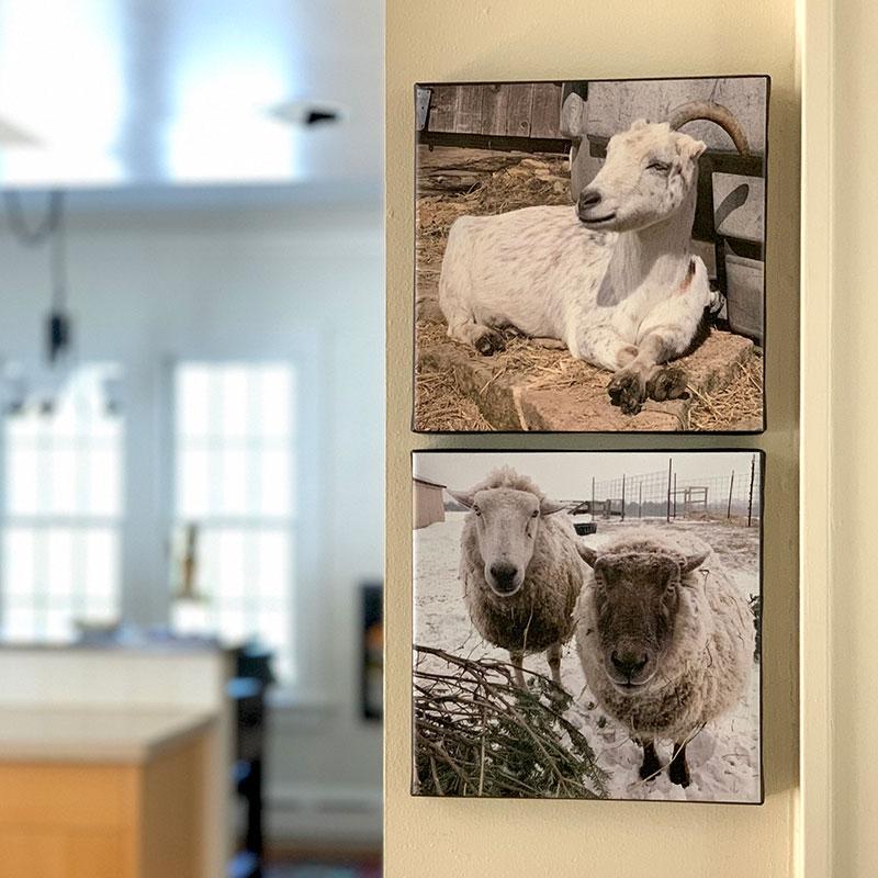 Opal the goat, Frances and Bert sheep