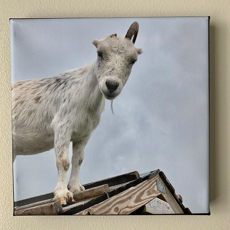 Opal on roof photo canvas