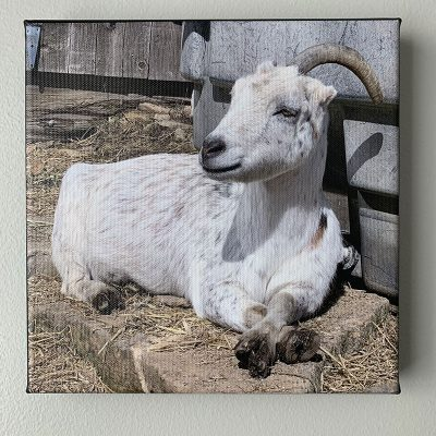 Opal sunning photo canvas info sheet