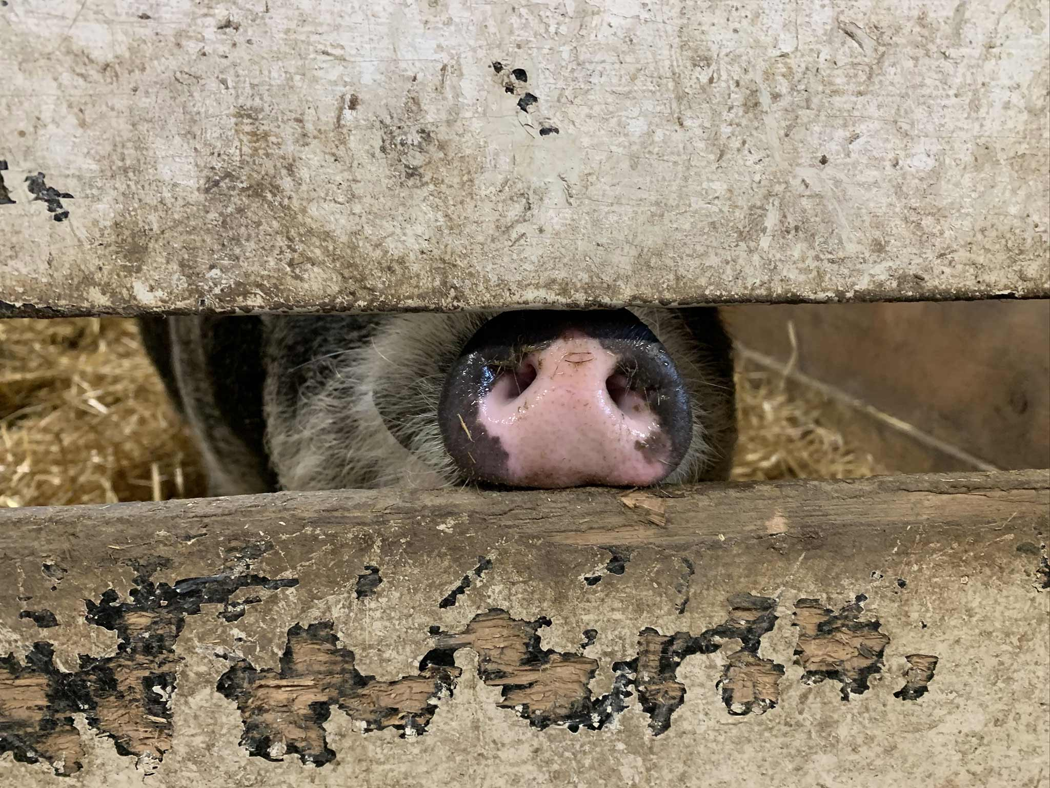 Pig snout peeking out of a stall